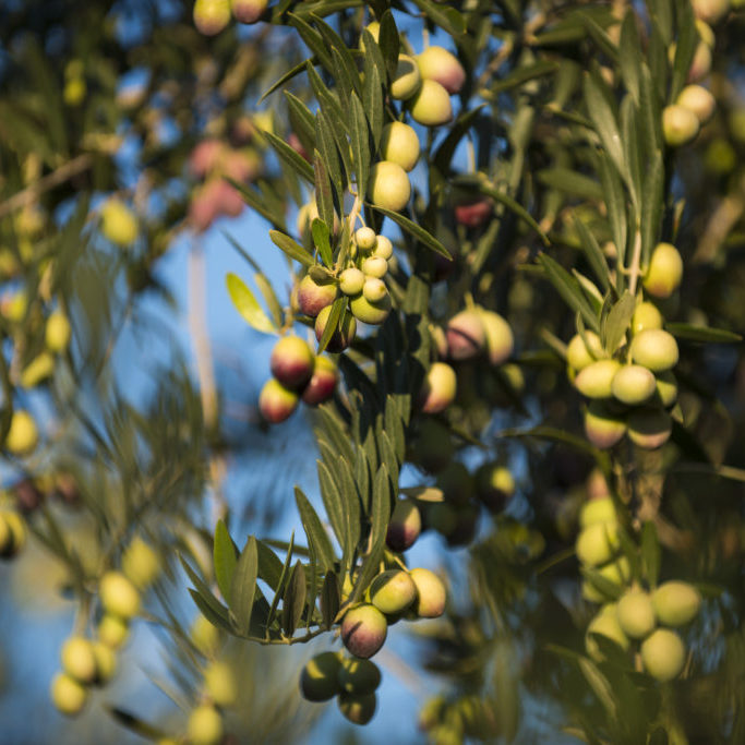 Blooming olive tree